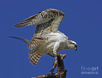 Photograph - Yearling Osprey by Larry Nieland