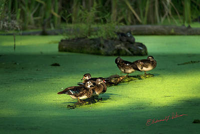 Photograph - Yearly Wood Duck Crop by Edward Peterson