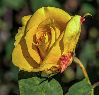 Photograph - Yelllow Rose by Jane Luxton