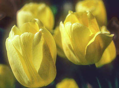 Photograph - Yelllow Tulip by John Brink