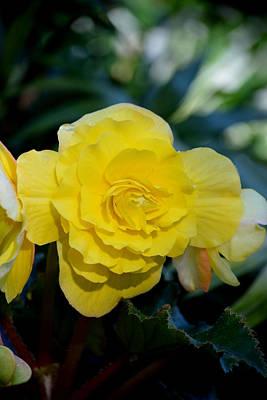 Music Figurative Potraits - Yellow  Begonia by Lena Photo Art