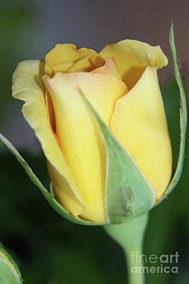 Granger - Yello Rose by Kim Henderson