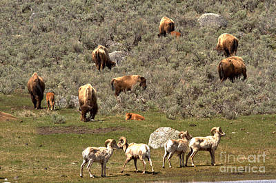 Photograph - Yellostone Bighorns And Bison by Adam Jewell