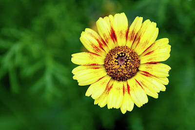 Photograph - Yellow African Daisy by Helen Northcott