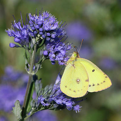 Photograph - Yellow And Indigo by Doris Potter
