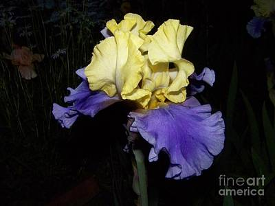Yellow And Blue Iris Art Print