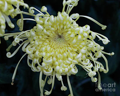 Photograph - Yellow And Curly II by Mary Haber