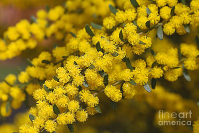 Photograph - Yellow And Golden As Wattle by Joy Watson