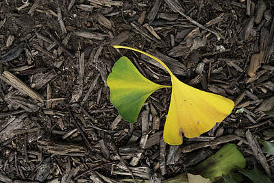 Photograph - Yellow And Green Gingko by Sharon Popek