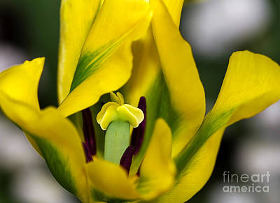 Spring Bulbs Photograph - Yellow And Green Tulip by Louise Heusinkveld