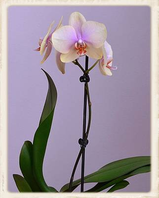 Photograph - Yellow And Lavender Orchid by Kathy Eickenberg