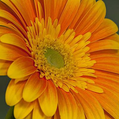 Photograph - Yellow And Orange Daisy by Randy Walton