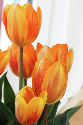 Photograph - Yellow And Orange Striped Tulips by Trina Ansel