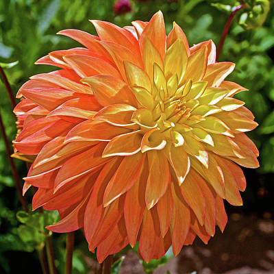 Photograph - Yellow And Peach Dahlia In Golden Gate Park In San Francisco, California by Ruth Hager