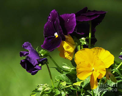 Photograph - Yellow And Purple Pansies by Lizi Beard-Ward