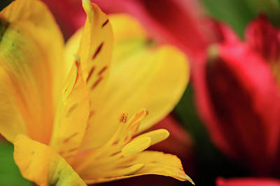 Photograph - Yellow And Red Peruvian Lily Macro by Joni Eskridge