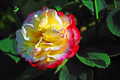Photograph - Yellow And Red Rose by Bill Jonscher