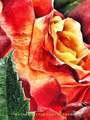 Photograph - Yellow And Red Rose by Nathan Little