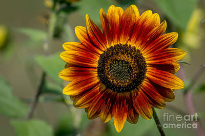 Wall Art - Photograph - Yellow And Red Sunflower by Marj Dubeau