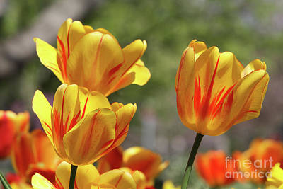 Spot Of Tea Rights Managed Images - Yellow And Red Tulips #2 Royalty-Free Image by Judy Whitton