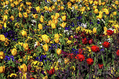 Photograph - Yellow And Red Tulips by Mae Wertz