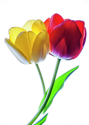 Backlit Tulip Photograph - Yellow And Red Tulips On White by Vishwanath Bhat