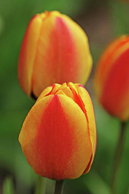 Photograph - Yellow And Red Tulips by Debbie Oppermann