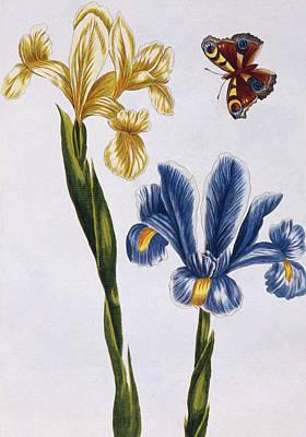 Tortoiseshell Painting - Yellow And Violet Irises by Pierre-Joseph Buchoz