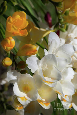 Photograph - Yellow And White Freesias by Glenn Franco Simmons