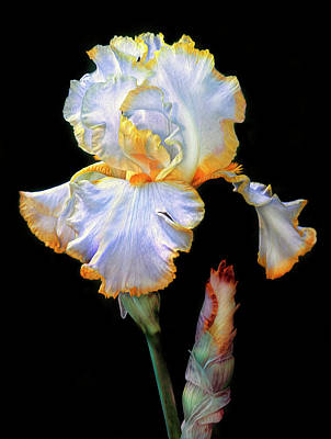 Yellow And White Iris Art Print by Dave Mills