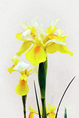 Photograph - Yellow And White Iris  by Terri Waters