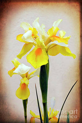 Photograph - Yellow And White Iris Textured by Terri Waters