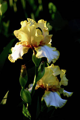 Yellow And White Irises 6681 H_2 Art Print