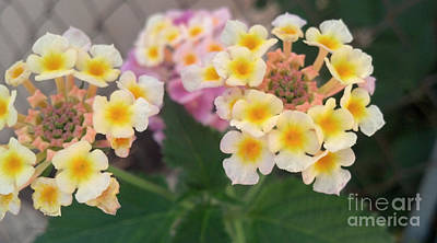 Photograph - Yellow And White Lantana by Ray Hunt