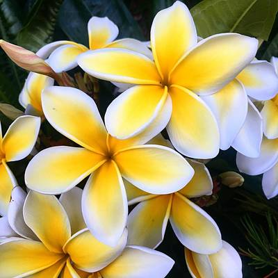 Photograph - Yellow And White Plumeria by Brian Eberly