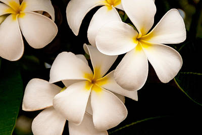 Scenic Photograph - Yellow And White Plumeria by Brian Harig