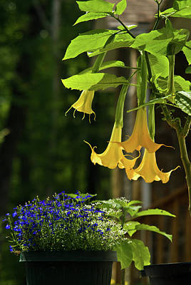 Angels Trumpet Photograph - Yellow Angel Trumpet by Douglas Barnett