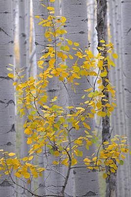 Yellow Aspen Tree Art Print