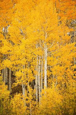 Yellow Aspens Art Print