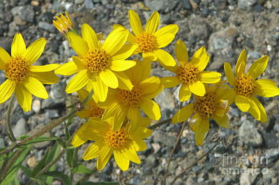 Photograph - Yellow Asters by Frank Townsley
