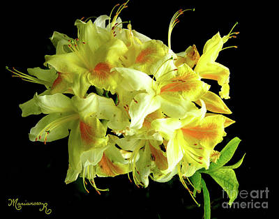 Photograph - Yellow Azaleas by Mariarosa Rockefeller