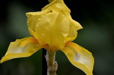 Photograph - Yellow Bearded Iris 15-01 by Maria Urso