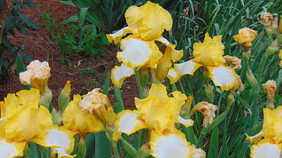 Photograph - Yellow Bearded Iris by Charlotte Gray