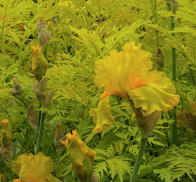 Photograph - Yellow Bearded Iris by Jean Noren