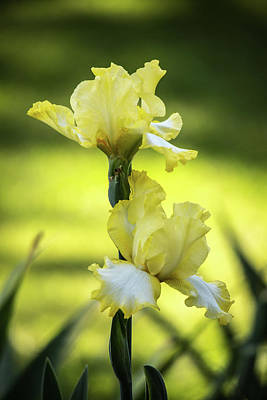 Photograph - Yellow Bearded Iris by Jemmy Archer