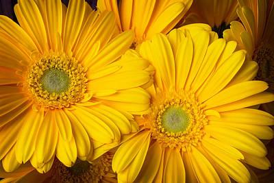 Gerbera Photograph - Yellow Beautiful Daisies  by Garry Gay