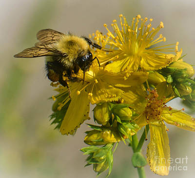 Photograph - Yellow Bee Yellow Flower by Amy Porter