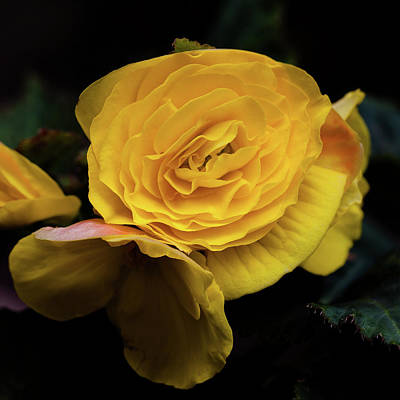 Photograph - Yellow Begonia by David Patterson