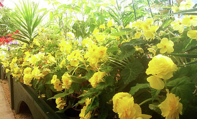 Photograph - Yellow Begonias Bloom In The Hothouse by Nareeta Martin