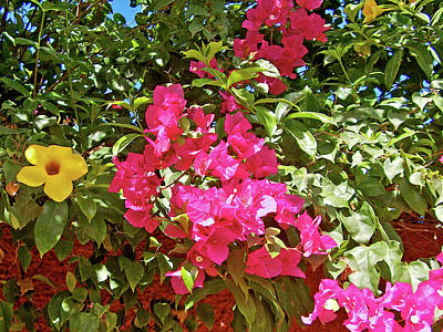 Photograph - Yellow Bell Or Cup Of Gold And Pink Bougainvillea, El Fuerte, Sinaloa by Ruth Hager